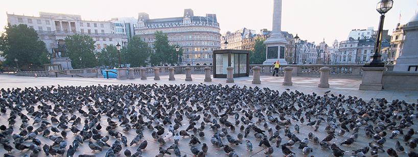 trafalgar square pigeons