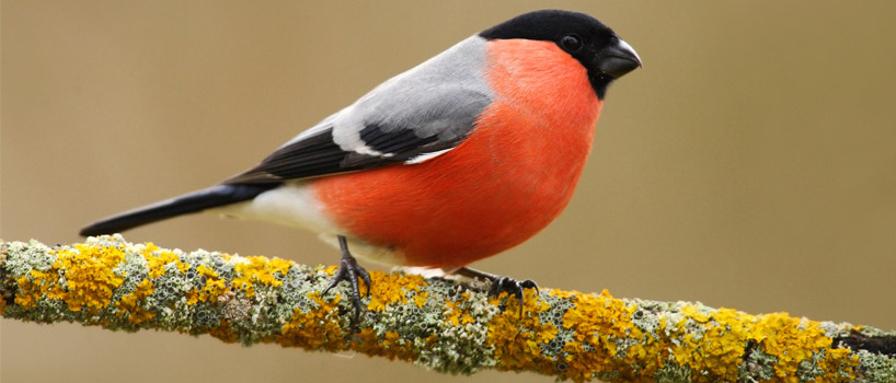 Bullfinch bird